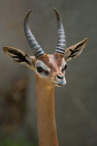 My last stop on the way out was at the Gerenuk enclosure.  Gerenuks live in East Africa in the dry, brushy areas of Somalia, eastern Ethiopia and Kenya.