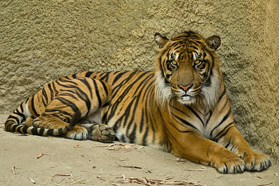 The Tiger was next on my list, and this one was awake and posing for a portrait.