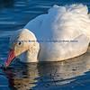 Snow Goose Eating