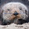 Sea Otter close up