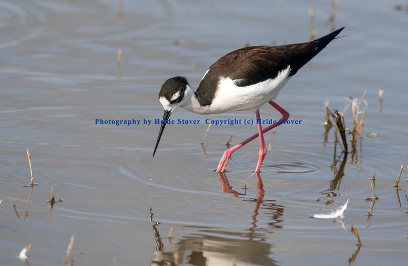 Black-necked Stilt looking for food
