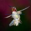 Annas Hummingbird.