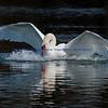 Mute Swan just Landed