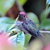 Resting Male Anna's Hummingbird