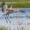 Juvenile Sandhill Crane Landing