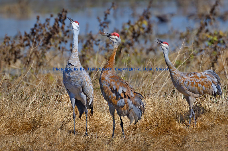 Crane Trio Vocalizing