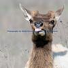 Tule Elk Young Bull