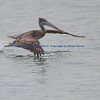 Juvenile Brown Pelican taking flight.
