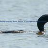 Cormorant with Carp
