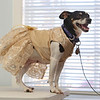 Rat terrier Maxine, 8, in her wedding dress, out of site of Maxwell. Lowell Humane Society hopes the dogs will be adopted together and are holding a wedding for them. (SUN/Julia Malakie)