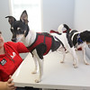 Lowell Humane Society communications & fundraising manager Crystal Arnott of Lowell, with rat terriers Maxwell, 7, left, and Maxine, 8, who've been together Maxwell's whole life. They hope the dogs will be adopted together and are holding a wedding for them. (SUN/Julia Malakie)