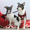 Rat terriers Maxine, 8, left, and Maxwell, 7, who've been together Maxwell's whole life. They were surrendered together, and Lowell Humane Society hopes the dogs will be adopted together and are holding a wedding for them. (SUN/Julia Malakie)