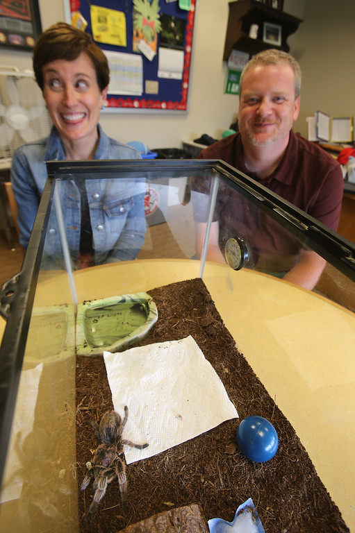 . STEM Academy principal Jason McCrevan of Derry, N.H., and 3rd grade teacher Jessica Weintraub of Charlestown, with Rosie, short for Rosemary Fern McCrevan, a tarantula who lives in McCrevan\'s office at STEM Academy in Lowell. Rosie recently had to have two of her legs amputated because of a bad molt (when she sheds her exoskeleton annually). (SUN/Julia Malakie)