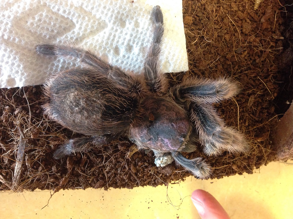 . Rosie, short for Rosemary Fern McCrevan, a tarantula who lives in principal Jason McCrevan\'s office at STEM Academy in Lowell, recently had to have two of her legs amputated because of a bad molt. (SUN/Julia Malakie)