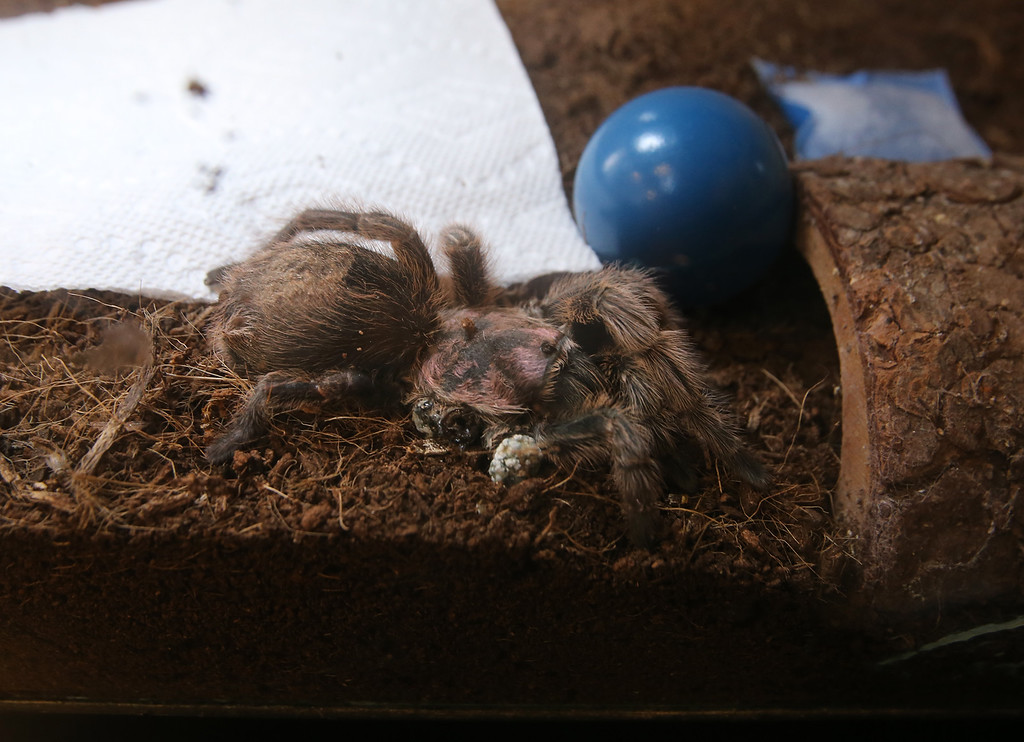 . Rosie, short for Rosemary Fern McCrevan, a tarantula who lives in principal Jason McCrevan\'s office at STEM Academy in Lowell, recently had to have two of her legs amputated because of a bad molt. She lives in this terrarium and sometimes plays with the ball. (SUN/Julia Malakie)