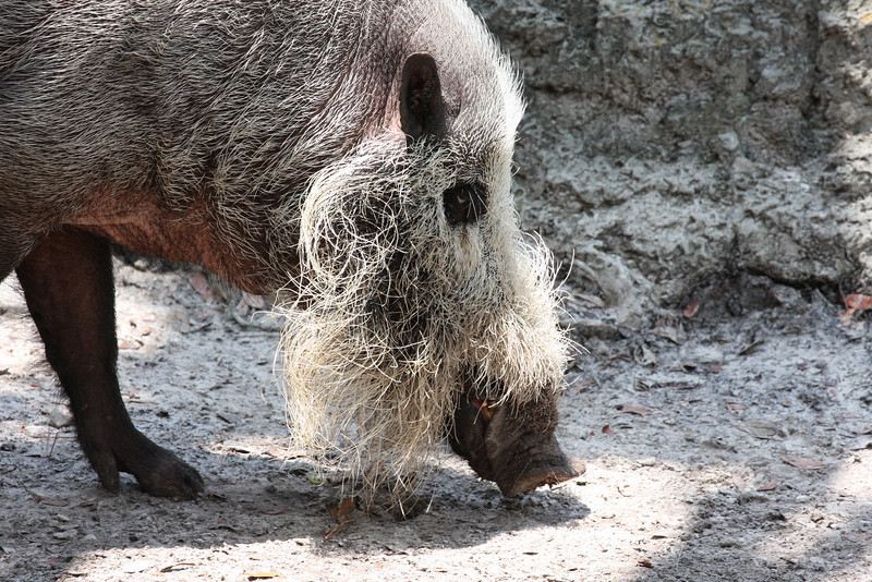 A bearded pig. Quite the ugly fellow.