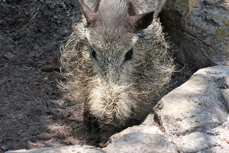 A bearded pig.