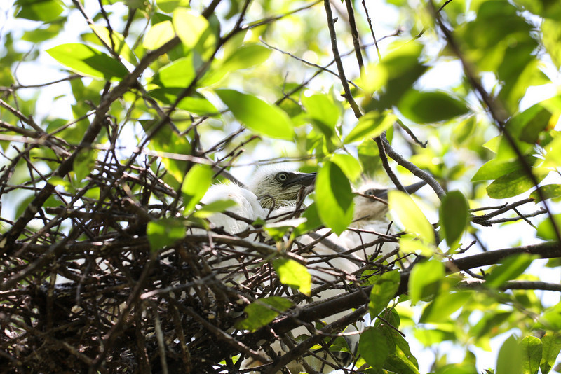 Baby Little Blue Herons.