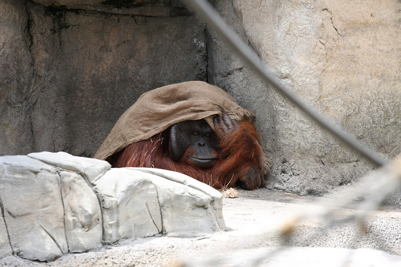 A male Orangutan hiding from the sun. The mother and their baby were in a hammock nearby. I never captured the baby in a pic, but Mark did. See his site for his view of the zoo.
