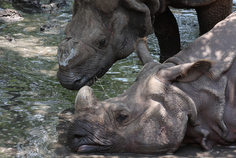 Wallowing in rhino love.