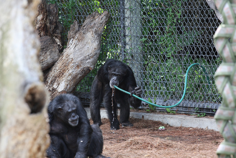 Chimp drinking from a hose.