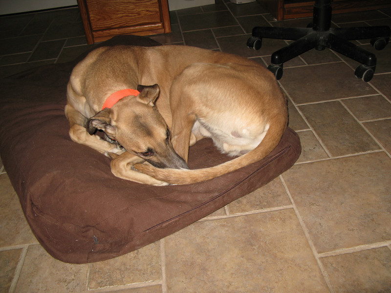 This is Luke.  <br /> <br /> Luke is a foster we decided to keep for our own.  His track name was Kiowa Sky Shield and he came off the track on 12/5/09; and reminds us very much of our first greyhound, Rowdy.