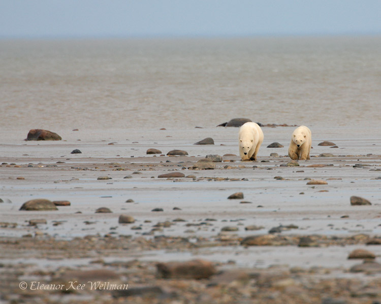 Polar Bear Sow & Cub Walking in from Tide-line