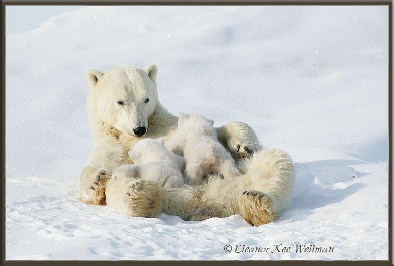 Nursing Cubs