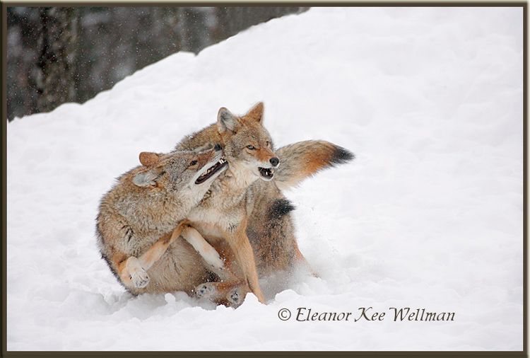 Brush Wolves/Eastern Coyotes, Aggression #4 - Captive