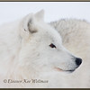 Arctic Wolf Side Portrait - Captive