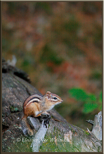 Eastern Chipmunk on Log