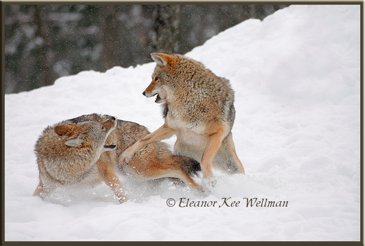 Brush Wolves/Eastern Coyotes, Aggression #5 - Captive
