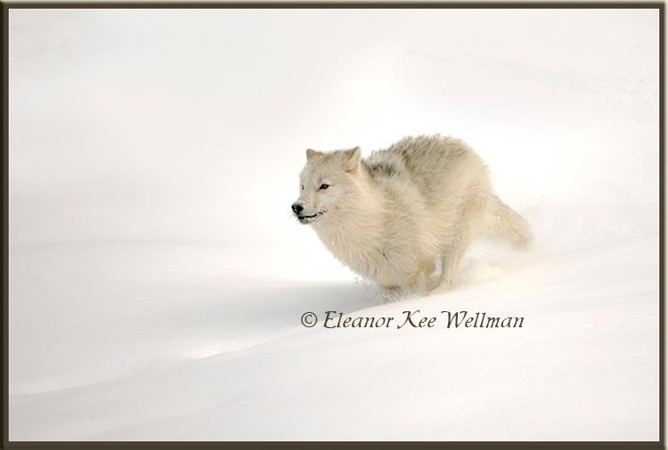 Arctic Wolf Running #4 - Captive