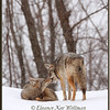 Brush Wolves/Eastern Coyotes, Greeting - Captive