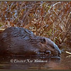 Beaver Chewing Stick in Spring