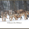 Brush Wolves/Eastern Coyotes, Pack Greeting #1 - Captive