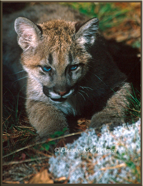Cougar Kit - Captive