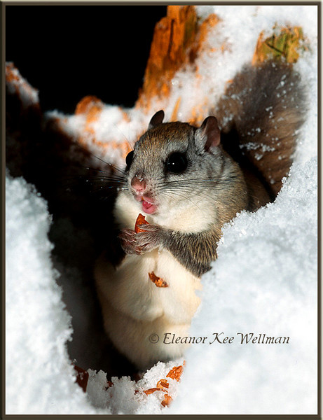 Northern Flying Squirrel eating peanuts.