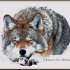 Brush Wolf/Eastern Coyote, Sleeping - Captive