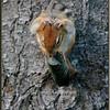 Eastern Chipmunk Grooming