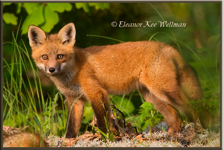 Red Fox Kit Watching #1