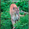 Cougar Watching - Captive