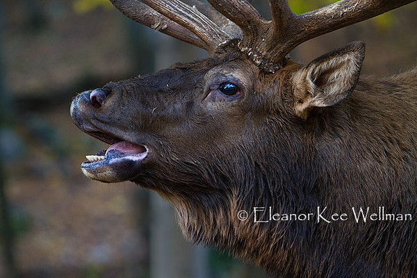 Elk Bull Flehmen - Breeding Behaviour - Captive
