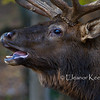 Elk Bull Flehmen - Breeding Behaviour - Captive