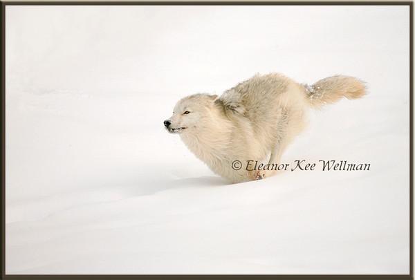 Arctic Wolf Running - Captive