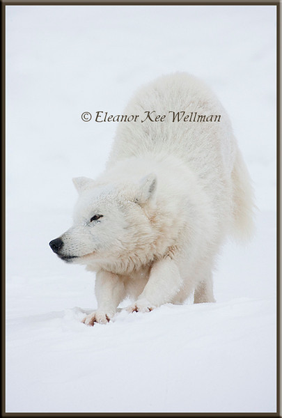 Arctic Wolf Stretching - Captive