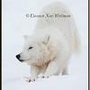Arctic Wolf Stretching - Captive