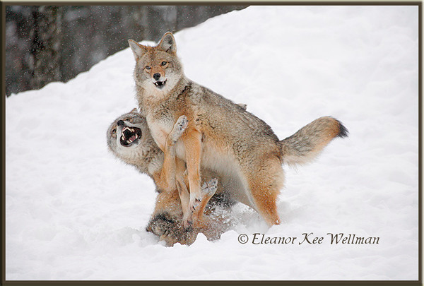 Brush Wolves/Eastern Coyotes, Aggression #3 - Captive