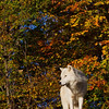Arctic Wolf Postcard-style - Captive