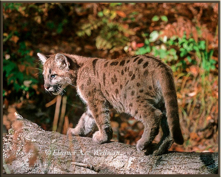 Cougar Kit on Log - Captive